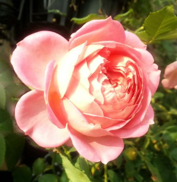 薔薇 ER ジュビリーセレブレーション
