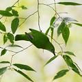 写真: アカハラコノハドリ(Orange_bellied Leafbird) P1200021_R