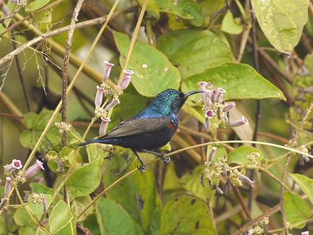 ムラサキタイヨウチョウ(Purple Sunbird) P1220667_R