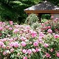 929 軽井沢タリアセン・イングリッシュローズ・ガーデン by ホテルグリーンプラザ軽井沢