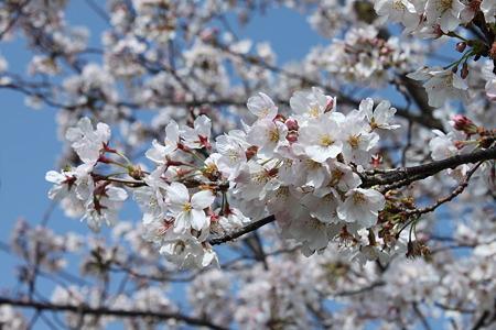 2010.04.06 桜(2/5)