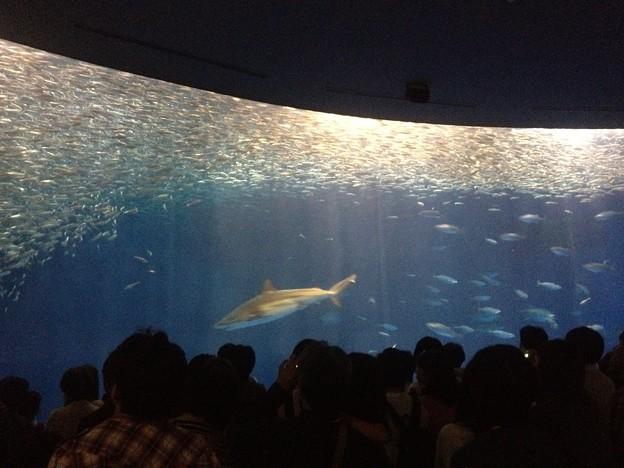 名古屋港水族館_149:マイワシのトルネード(黒潮水槽)