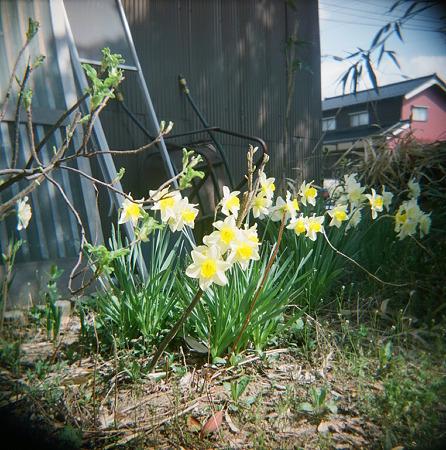 Flower04162011holga_fuji_pro400h