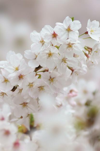 写真: 輝く桜
