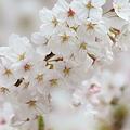 Photos: 輝く桜