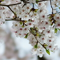 写真: 谷中の桜