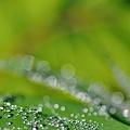 朝の水玉~黄緑