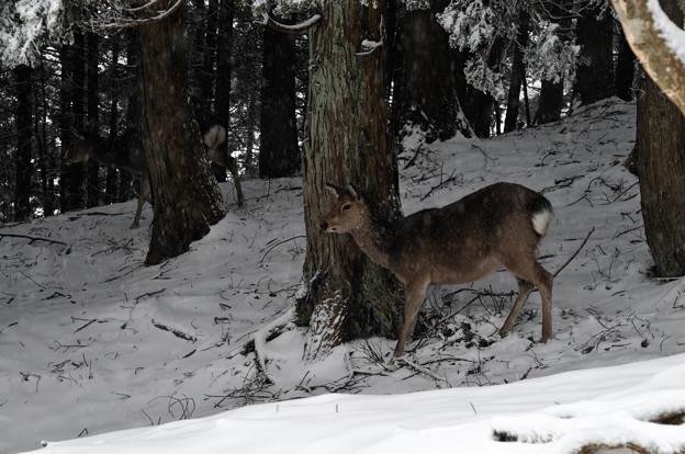 写真: 丹沢の鹿