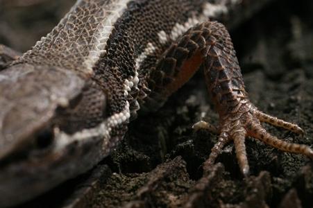 カナヘビさんのあんよと皮膚