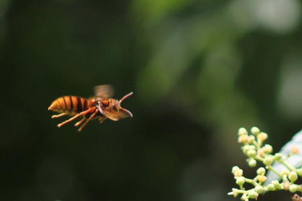 仕事に必死なキイロスズメバチの働き蜂