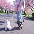 Photos: チョコちゃんと桜 008
