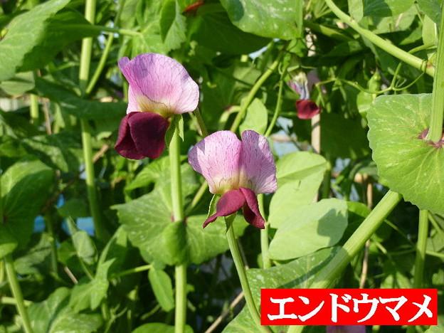 エンドウマメの花
