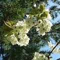 写真: 松と御衣黄桜