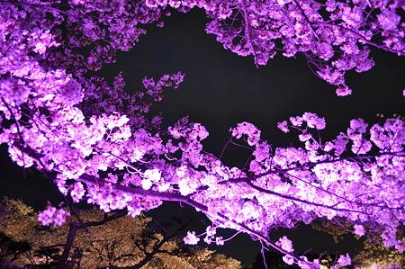 虹色にひかる桜