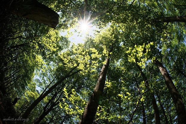 みちのく初夏のブナ林