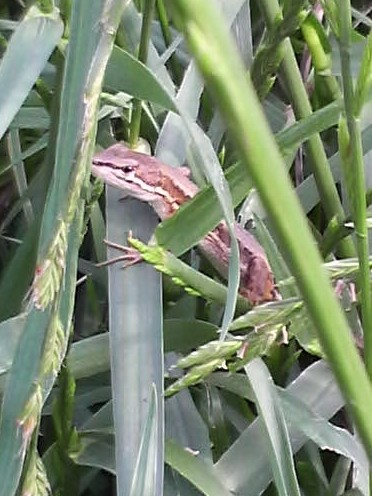 写真: カナヘビ