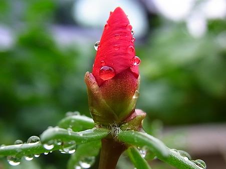 松葉牡丹と蕾と雨粒と