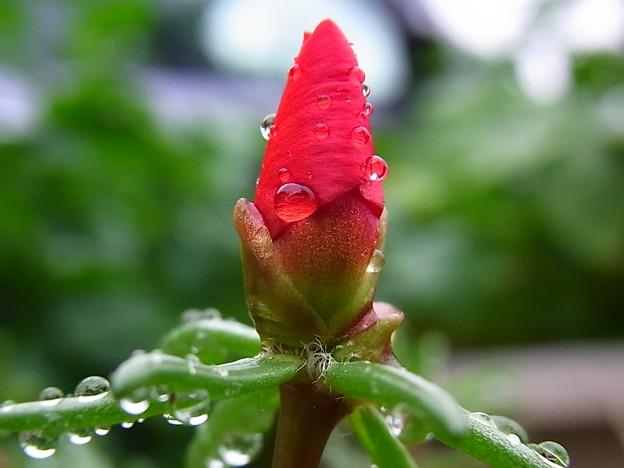 写真: 松葉牡丹と蕾と雨粒と