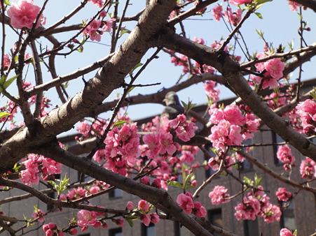 寒桜?(東京都中央区役所前)