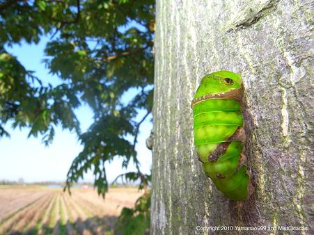 モンキアゲハ 蛹になる直前