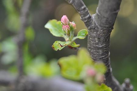姫リンゴの蕾