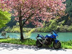 中野方川と八重桜とZ750S