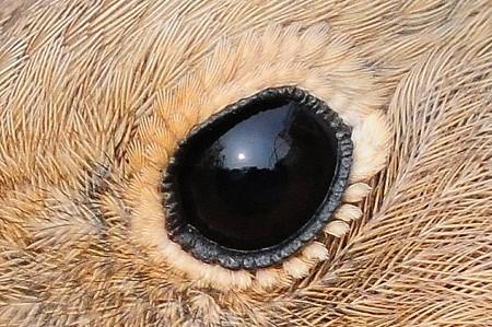 ジョウビタキ(メス)のつぶらな瞳