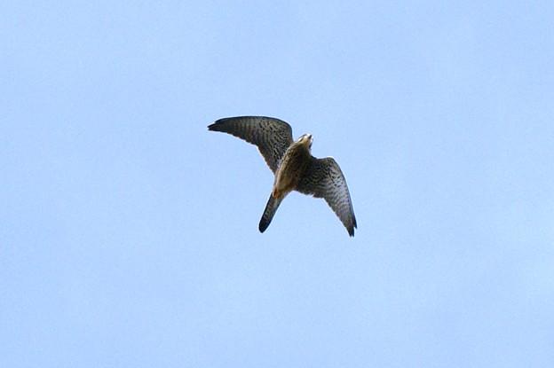写真: 我が家の上空を駆け抜けるチョウゲンボウ