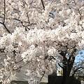 写真: 2010zuisin_sakura1