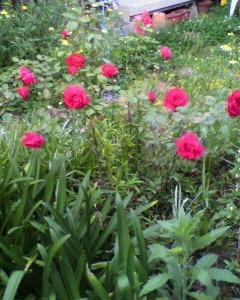 庭の薔薇がやっと咲いた!!