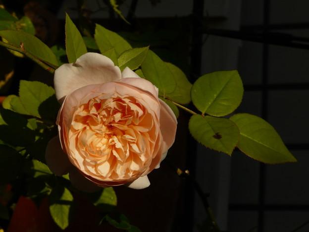 36 アンブリッジ・ローズ Ambridge Rose