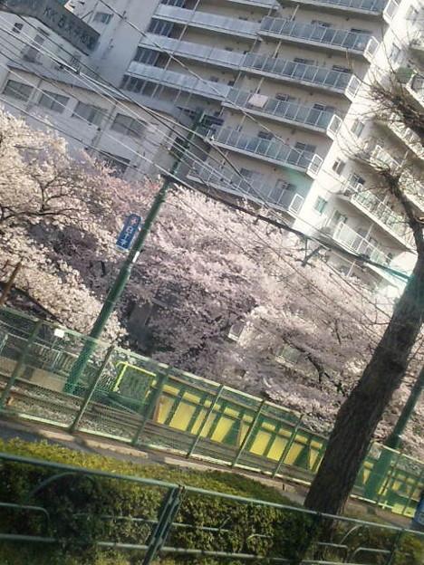 昨日 東京へ戻ったら 皆薄...