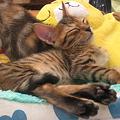 写真: ベンガルネコちゃんのお昼寝