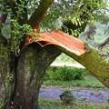 折れた桜の樹b
