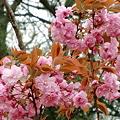 八重桜 A