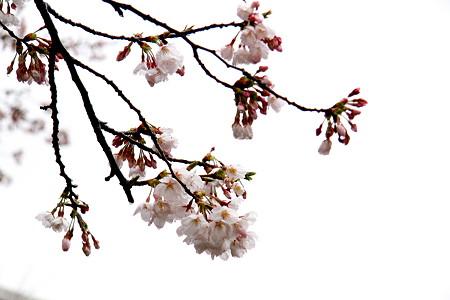 白金台の桜
