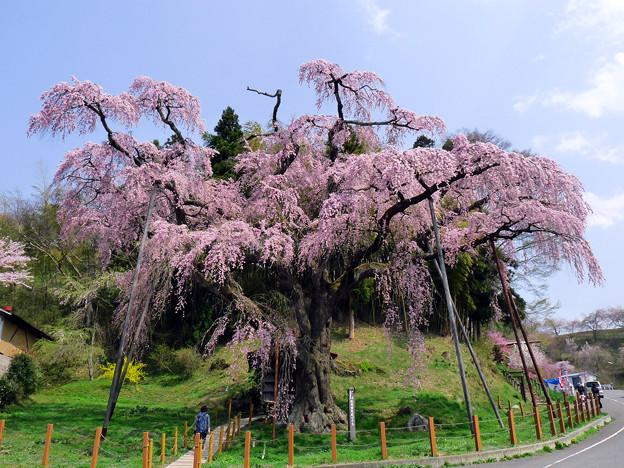 福島 紅枝垂れ地蔵桜 2011