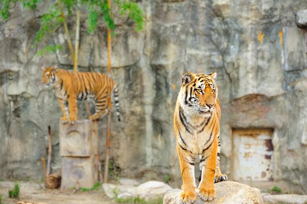 とべ動物園で撮影したトラの写真です。