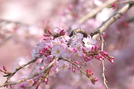 上野公園入口の大寒桜