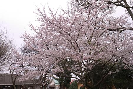 成田ゆめ牧場 エントランスの満開の桜