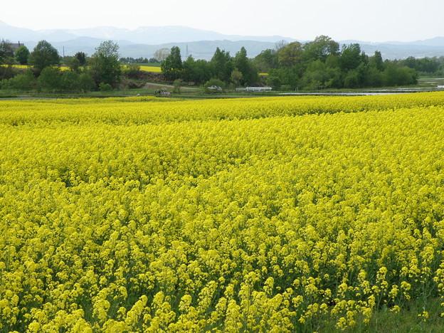 菜の花@滝川市-2012年-04
