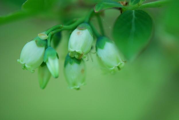 写真: High Bush Blueberries 5-19-12