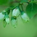 High Bush Blueberries 5-19-12
