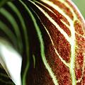 Photos: Indian Turnip