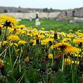 写真: Dandelions at the Fort