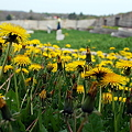 Dandelions at the Fort