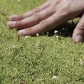'Aurea' Scotch Moss