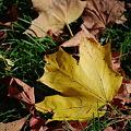Maple Leaves 10-11-10