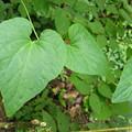 写真: 40706 ツルギキョウの葉っぱ@高尾山