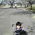 写真: やっと次男くん元気になりました!今日は親子ひろばにいき 帰りに桜も...